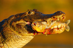 Yacare Caiman, crocodile with fish in muzzle with evening sun, detail portrait of animal in the nature habitat, action feeding sce Stock Photography