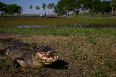 Yacare Caiman, crocodile in Pantanal, Paraguay. Yacare Caiman, crocodile with open mouth on a green meadow in wetlands in the Pantanal, Paraguay Stock Photography