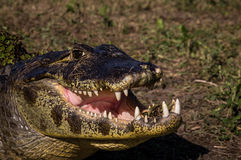 Yacare Caiman, crocodile in Pantanal, Paraguay. Yacare Caiman, crocodile with open mouth in wetlands in the Pantanal, Paraguay Royalty Free Stock Photography