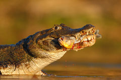 Yacare Caiman, crocodile with piranha fish in with evening sun, Pantanal, Brazil. Wildlife Royalty Free Stock Photography