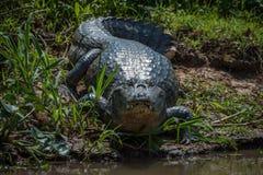 Yacare caiman on grassy beach facing camera stock images