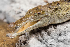 Yacare Caiman Head Close Up Stock Images