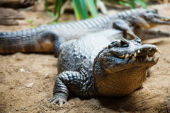 Yacare caiman. Lying Yacare caiman (Caiman yacare Stock Images