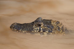 Yacare Caiman Royalty Free Stock Photo