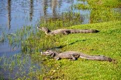 Yacare caimans, Pantanal, Mato Grosso (Brazil) Royalty Free Stock Image