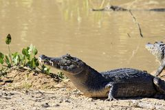 Yacare Caimans Stock Images