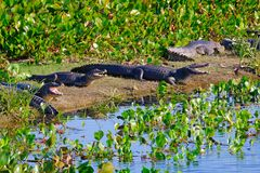 Yacare Caymans, Caiman Crocodilus Yacare Jacare, in the grassland of Pantanal wetland, Corumba, Mato Grosso Sul, Brazil. Yacare Caymans, Caiman Crocodilus Yacare stock images