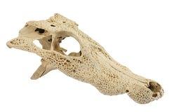 yacare crocodilus caiman Стоковое Изображение RF