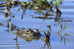 Yacare-Kaiman im Wasser Stockfotografie