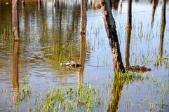 Yacare-Kaiman, Pantanal, Mato Grosso do Sul (Brasilien) Lizenzfreie Stockfotos