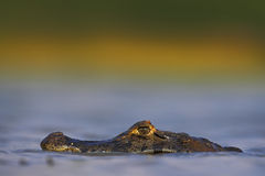 Yacare kajman, dold stående av krokodilen i yttersidan för blått vatten med aftonsolen, Pantanal, Brasilien Royaltyfria Bilder