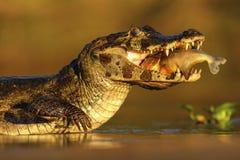 Yacare kajman, krokodil med fisken in med aftonsolen, Pantanal, Brasilien Arkivfoto