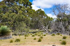 Yacka or blackboy plants, endemic plants, South Australia Stock Photo