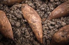 Yacon на черной почве Стоковые Фотографии RF