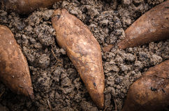 Yacon on the black soil Royalty Free Stock Photos