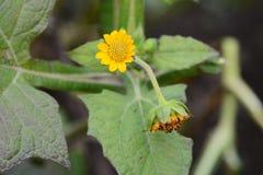 Yacon blommor royaltyfri fotografi