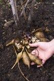 Yacon fresco si pianta (sonchifolius di smallanthus) Fotografia Stock