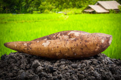 Yacon root. Fresh yacon root on the loose soil Stock Photos
