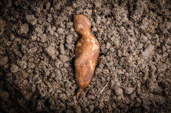 Yacon root. Fresh yacon root on the loose soil Royalty Free Stock Photo