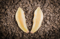 Yacon root on the ground. Fresh cut off yacon root 2 pieces on the black loose soil Royalty Free Stock Image