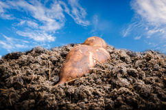 Yacon root. On the soil with sky back ground Stock Images