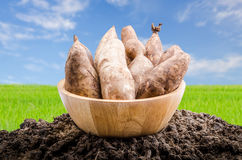 Yacon roots on a bowl. With nature background Royalty Free Stock Image