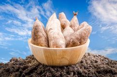 Yacon roots on a bowl. With nature background Stock Images