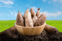 Yacon roots on a bowl. With nature background Royalty Free Stock Photography
