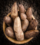 Yacon roots on a bowl. Put on a soil Stock Photography