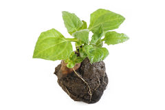 Yacon seedling Royalty Free Stock Images