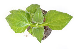 Yacon seedling Stock Images