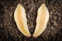 Yacon on the soil. Fresh cut off yacon root 2 pieces on the black soil Stock Photo