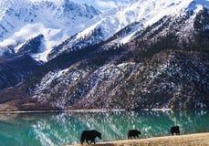 Yacs al borde del lago verde en Tíbet Foto de archivo libre de regalías