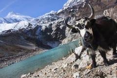 Yacs al lado del lago glacial en la montaña de Manaslu en Nepal fotos de archivo