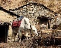Yacs atados cerca de una casa de piedra en el Himalaya Región de Everest Fotografía de archivo