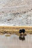 Yacs en Ladakh Imágenes de archivo libres de regalías