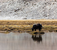 Yacs en Ladakh Imagen de archivo