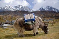 Yacs en Nepal fotografía de archivo libre de regalías