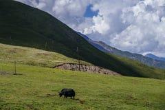 Yacs en prados y montañas en Qinghai, China imagenes de archivo