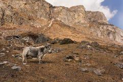 Yacs en Yala Velley Parque nacional de Langtang imagen de archivo