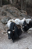 Yacs Himalayan Imagen de archivo