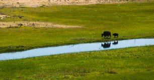 Yacs mongoles con el becerro que camina a lo largo de la orilla del río Summ rural Fotos de archivo libres de regalías