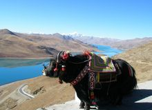 Yacs Tíbet Fotografía de archivo