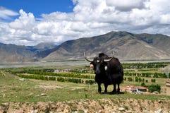 Yacs tibetanos Imagen de archivo libre de regalías