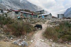 Yacs y pensiones en viaje del valle de Langtang nepal foto de archivo libre de regalías
