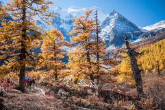 Yading Colorful autumn. Daocheng, Sichuan , China - October 23,2008 : Chinese tourist visting autumn forest in Yading national level reserve in Daocheng, Sichuan Stock Photo