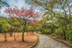 Yae Sakura ao lado do trajeto no parque de Arashiyama, Kyoto Japão imagens de stock royalty free