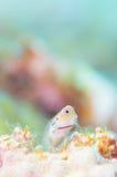 Yaeyama-Blenny Stockfotografie