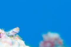 Yaeyama-Blenny Stockfoto