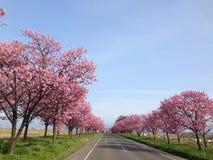Yaezakura Lizenzfreies Stockfoto